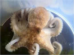 Seeking Octopus Infiltrated Plaques Resulting From An Injury Caused By The Common