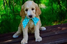 goldendoodle puppy treats should you get pet insurance for your goldendoodle