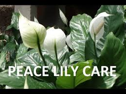 peace plant peace how to care indoor house plant spathiphyllum best
