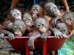 Baby Monkey Meme - i can has cheezburger orangutan animals on internets funny