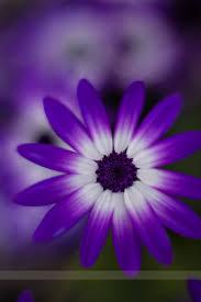 Gerbera Daisies Purple White Gerbera Daisy