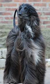afghan hound hairstyles westminster dog show animals show dogs pinterest