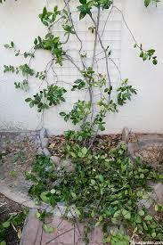 star jasmine on trellis pruning a star jasmine vine when u0026 how to do it