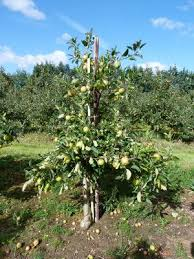 fruit tree size suffolk fruit and trees the fruit tree specialists