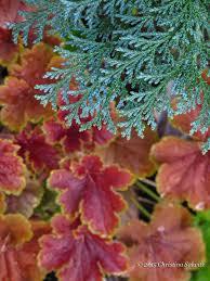coppertina ninebark fine foliage