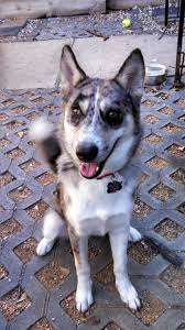 belgian sheepdog houston tx houston tx australian cattle dog meet whiskey video a dog