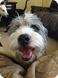 bearded collie x terrier max adopted dog scottsdale az bearded collie wirehaired fox