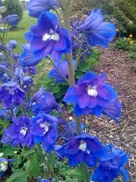 delphinium flowers beautiful flowers delphinium flowers pictures meanings