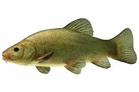 comment cuisiner une tanche ma boite à pêche et le poisson tanche