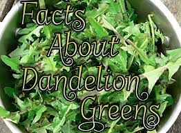 Dandelion Facts Some Facts About Dandelion Greens U2013 Domesticated Momster