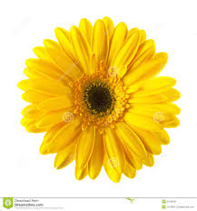 Daisy The Flower - daisy stock photos images u0026 pictures 148 178 images