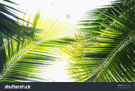 palm tree leaves various green tones stock photo 50415205