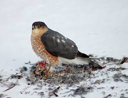 Ontario Backyard Birds Cooper U0027s Hawk Identification All About Birds Cornell Lab Of