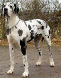 Blind Great Dane Pennsylvania State Dog Great Dane Canis Familiaris