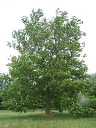 Kansas forest images American sycamore jpg