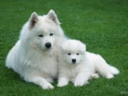 american eskimo dog forum i found corky adopted on american eskimo dog dog mixes