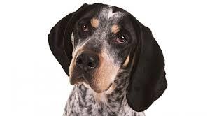7 month old bluetick coonhound bluetick coonhound health u0026 care information
