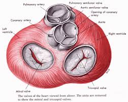 aortic valve anatomy the aortic and pulmonary valves are also