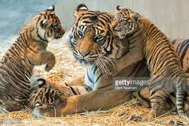 tiger cub stock photos and pictures getty images