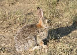 battling bunnies california outdoors q and a
