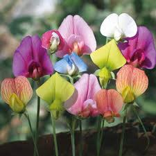 sweet pea flowers multi color sweet pea flower seeds seeds