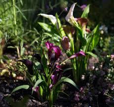 Calla Lillies Calla Lily Rethinking A Bridal Bouquet Flower Gardenista