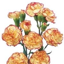 bulk carnations online wholesale bulk discount mini spray carnations bicolor
