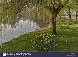 willow trees on the river thames berkshire uk stock photo royalty