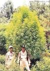 biggest marijuana plants
