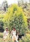 biggest marijuana plant ever