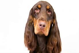 affenpinscher brown field spaniel dog breed information american kennel club