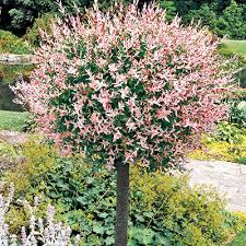 spectacular trees for landscaping shade evergreen flowering