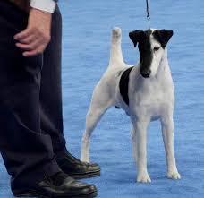 affenpinscher in orlando fl dog show 2012 02 05