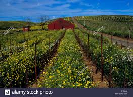 Red Barn Santa Ynez Vineyard California Barn Stock Photos U0026 Vineyard California Barn