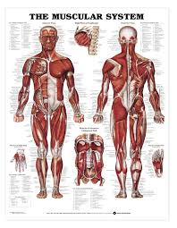 Fundamental Anatomy And Physiology The Muscular System Deep Layers Front Laminated Anatomy Chart