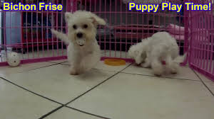 bichon frise in ohio bichon frise puppies dogs for sale in charleston south