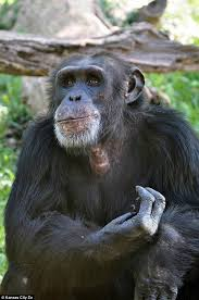 Chimp Meme - chimp is beaten to death by other primates in kansas zoo daily