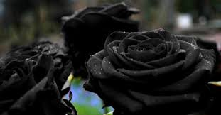 black roses for sale fact check black only grows in a in turkey