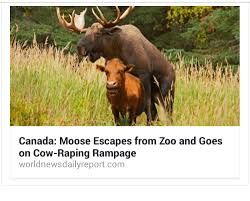 Moose Meme - canada moose escapes from zoo and goes on cow raping rage