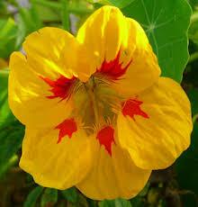 nasturtium flower seasonal flowers nasturtium