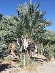 buy cold hardy palm trees medjool date palm wholesale date trees