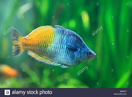 boeseman u0027s rainbowfish melanotaenia boesemani stock photo
