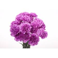 Purple Carnations Two Tone Purple Carnations Carnations Types Of Flowers