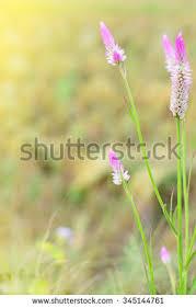 beautiful pink celosia flamingo feather flowers stock photo