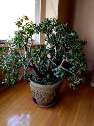 my jade plant i had in san antonio grew to be about this big as
