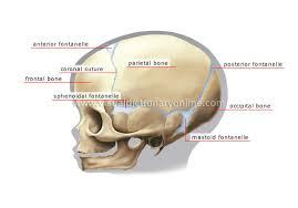 Human Anatomy Skull Bones Head Archives Page 7 Of 31 Human Anatomy Charts