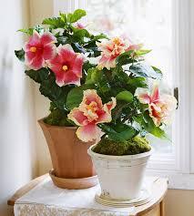easy flowers to grow indoors good indoor flowers 7 flowers that are easy to grow indoors