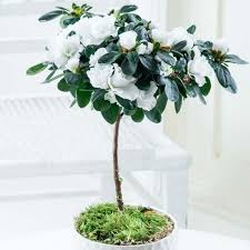 white flowering indoor azalea tree with white dislay pot