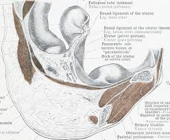 Human Anatomy Cervix Image From Page 118 Of