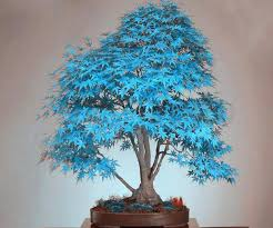 bonsai does the blue japanese maple tree exist gardening